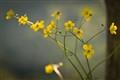Yellow flowers on Italian riviera
