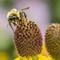 Bumble bee on yellow coneflower