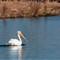 White Pelican 001
