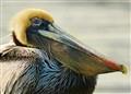 Blonde Pelican