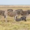 Three and a Half Zebras in the Afternoon at Etosha National Park DEC 3 2016 NAMIBIA (1 of 1)