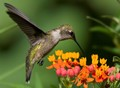 Ruby-throated Hummingbird at Butterfly Weed