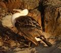 Immature Little Pied Cormorant