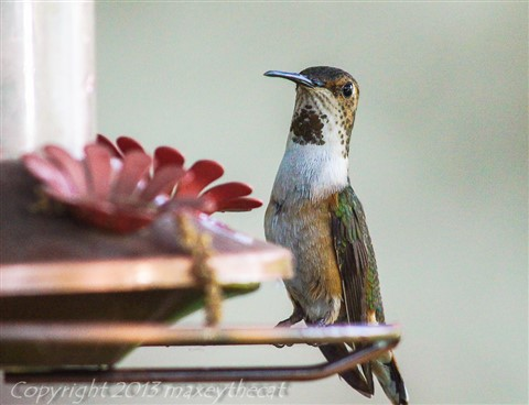 Hummingbird Saturday 3