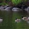 Geese_6606