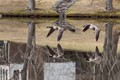 Canada Geese leaving the pond