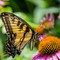Eastern Tiger Swallowtail on a Cone Flower-2