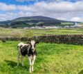 Calf at Cinco Ribeiras