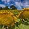 Sunflowers--5