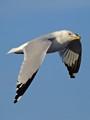 Ring-billed Gull in flight (Larus delawarensis) Flagler Beach, FL, USA Date taken - 03/05/17, 5:13 PM Photo ID - DSCF3150b Camera - FinePix X-S1 © 2017 Bill Elvey