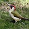 Green Woodpecker x