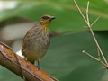 Striped-throat Bulbul