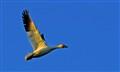 snow goose in flight2