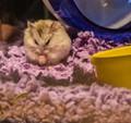 Bwahaha Hamster