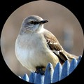 Northern Mockingbird in North Carolina