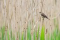 A Reed Warbler with a beak full of nesting material