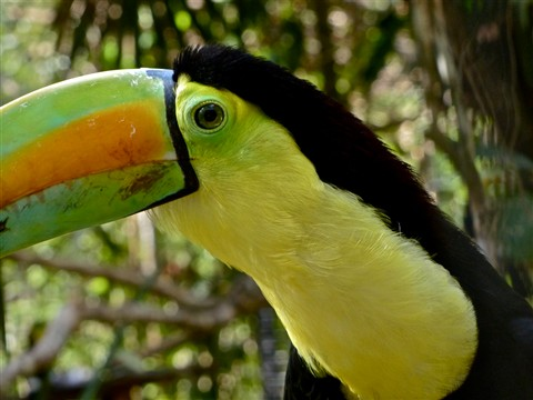 Keel-billed Toucan 20188
