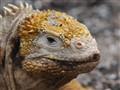 Land Iguana, complexion.