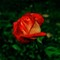 Rose_004-Web