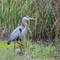 Great Blue Heron - SNWR
