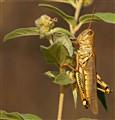 Grasshopper Feeding