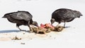 Black Vultures working on a Raccoon carcass