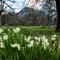 daffodil_meadow_IMG_3553