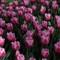 groot bijgarten tulips