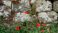 Poppies in a Tuscan Wall