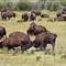buffalo_9886