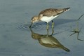 solitary sandpiper reflected