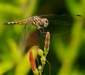 Blue Dasher On Flame Acanthus