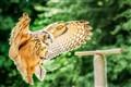 Landing Owl