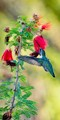 Anna's Hummingbird LB-3964