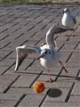 Play Gull!