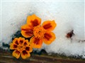 marigolds in snow