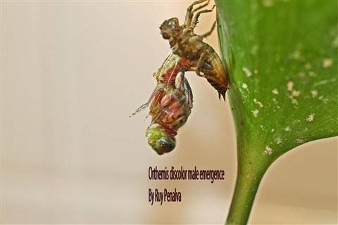 Orthemis discolor male emergence-1