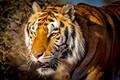 Bengal Tiger-8478
