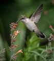 Ruby throated female Hummingbird