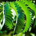 Chlorophyll circulation