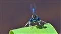 Crop: Dragonfly