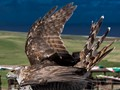 Something to eat,  Seen by this female Northern Goshawk (Accipiter gentilis)  on Great Orme, Wales.