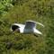 Black Headed Gull in flight - S mode (cropped)