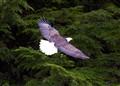 Majestic American Eagle