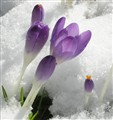 Crocus through the snow