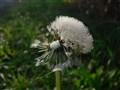 Dewy seedhead