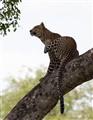 Kruger Leopard scratching
