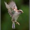 Sparrow in Flight 3