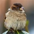 sparrow 1