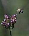 Blue-banded Bee in flight